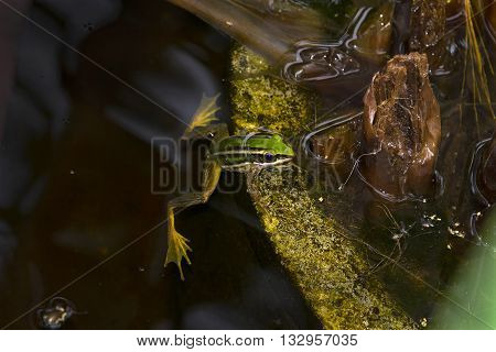 Green Frog floating in  blue color water