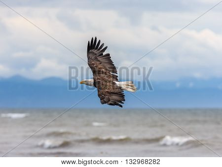 Bald eagle in mid air flight over Homer Spit Kenai Peninsula, Alaska, USA