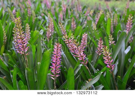 Bromeliad - MatchStick (Aechmea gamosepala) in  natural