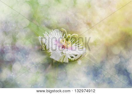 Romantic Nature Wild Grass Flower,passiflora  With Rain Drop In Dreamy Bokeh, Gentle White Petal Wit