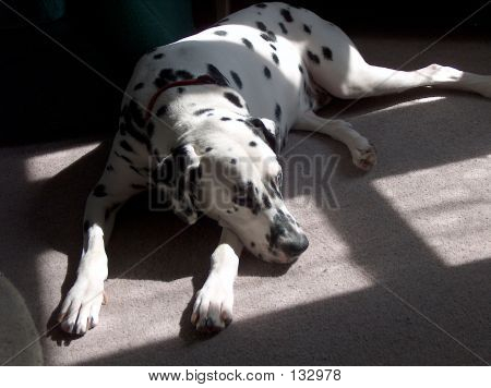 Dalmatian With Sun And Shade