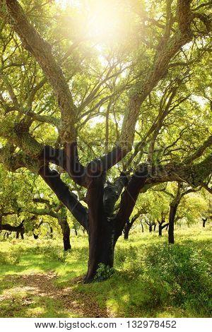 Large cork tree field under bright sunlight