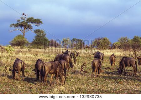 Specie Connochaetes taurinus family of bovidae, group of common wildebeests in savannah in Kruger park
