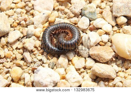 African Millipede Among The Pebbles