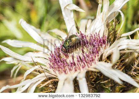 Common green bottle fly Lucilia sericata gathering pollen from a spiny plumeless thistle flower. Adults feed opportunistically on nectar or other suitable food such as carrion while it matures poster