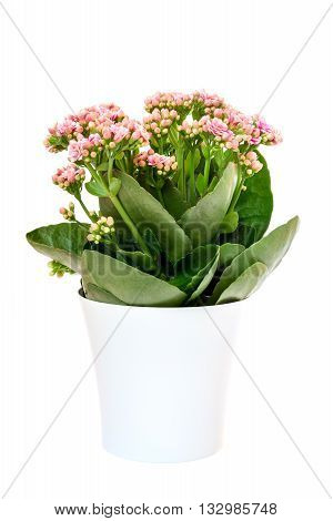 pink Calandiva flowers or Kalanchoe in pot on white background