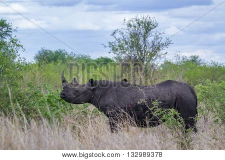 Specie Diceros bicornis family of Rhinocerotidae, wild black rhinoceros standing in the bush in Kruger Park