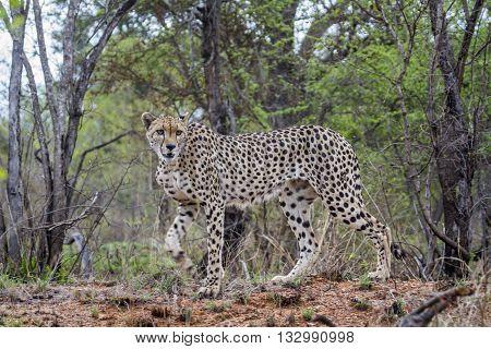Specie Acinonyx jubatus family of felidae, wild cheetah walking in the bush, Kruger park