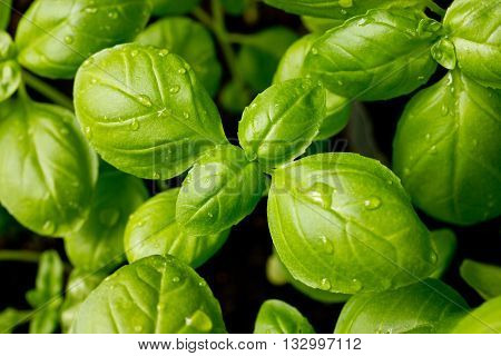 Genovese basil leaves with water drops close up