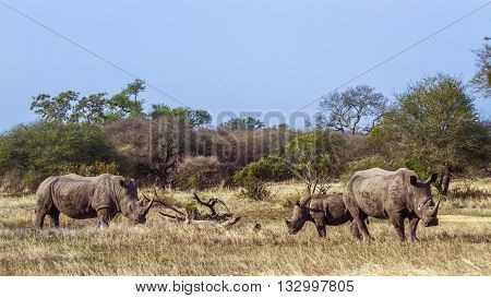 Specie Ceratotherium simum simum family of Rhinocerotidae, family of wild white rhinoceros in the bush