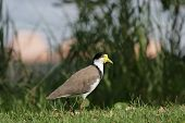 Masked Lapwing (Vanellus miles) sitting on a lawn in Nelson Bay Australia poster