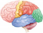 color diagram of the brain poster