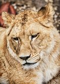 Portrait of a Barbary lion - Panthera leo leo. Animal portrait. Lioness closeup. Atlas lion. Critically endangered species. Animal background. poster