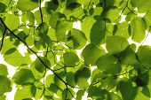 close-up look at green leaves backlit with sunlight. makes a nice background image or desktop image. poster