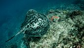 Giant reef ray (Taeniura melanospilos) swimming along a coral reef. Taken in Bali Indonesia. poster