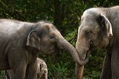 Two female asian elephants having fun by trying to steal some food from each other - baby elephant in background poster
