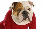 english bulldog wearing red dog coat on white background poster