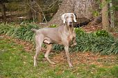 weimaraner purebred dog pointing in the yard poster