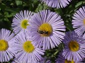 Erigeron (seaside daisy) purple and yellow flowers with bee. poster
