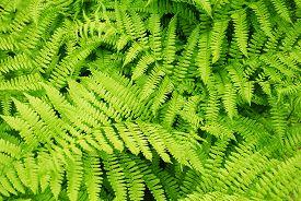 Back Ground of a Green Summer Fern