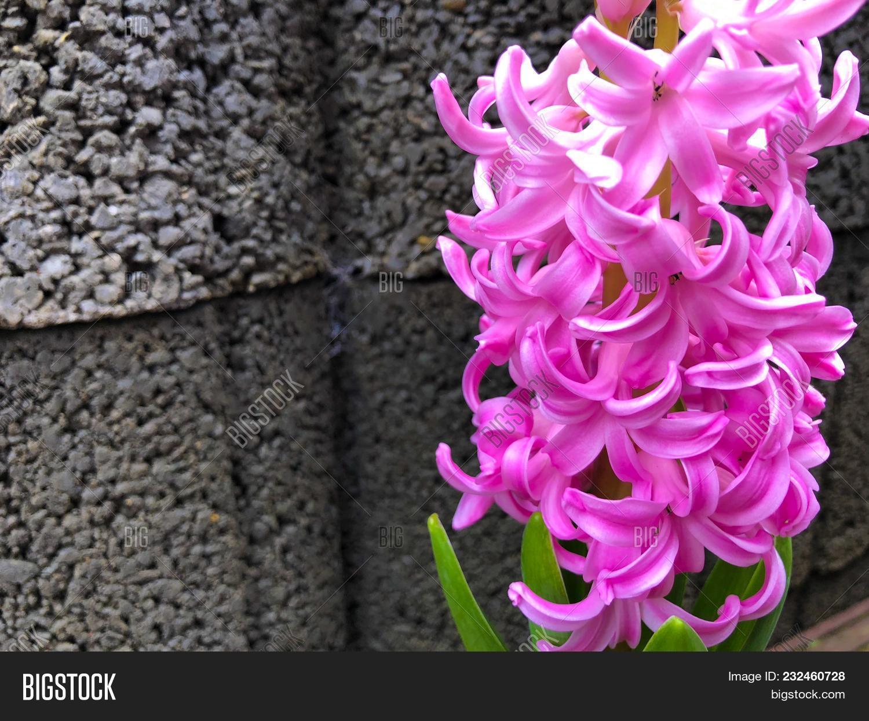 Hyacinth Pink Surprise Image Photo Free Trial Bigstock