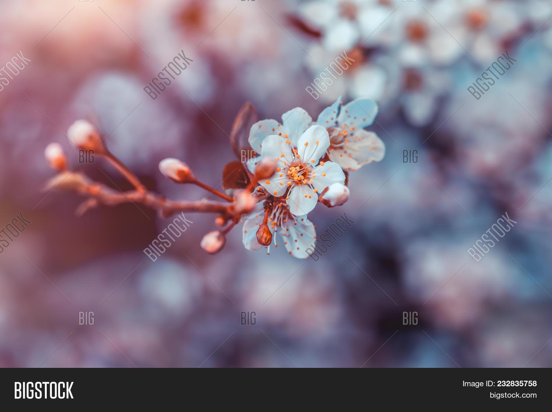Cherry Tree Blossom Image Photo Free Trial Bigstock