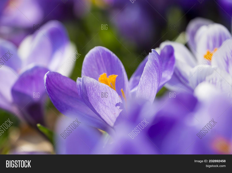 Close Beautiful Blooming Crocus Image Photo Bigstock