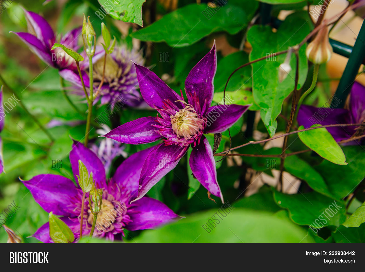 Close big purple image photo free trial bigstock close up big purple flowers named clematis or president flower mightylinksfo