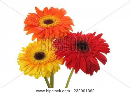 Red and yellow gerbera flower bouquet isolated on white.