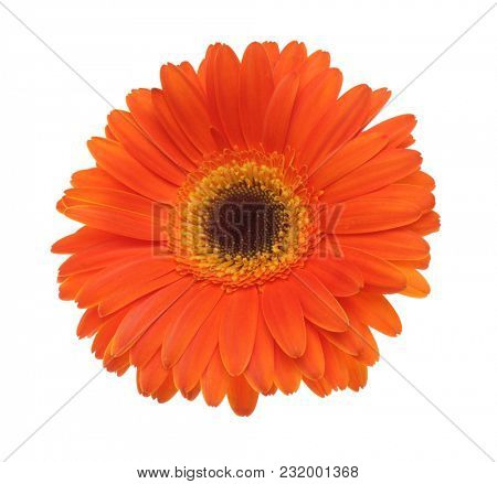 Orange (red) gerbera flower isolated on white.