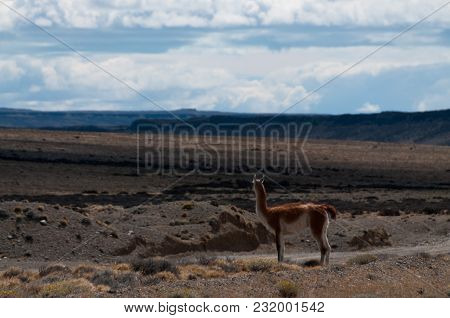 A Guanaco Looking Out Across The Patagonian Desert. Patagonia, Argentina