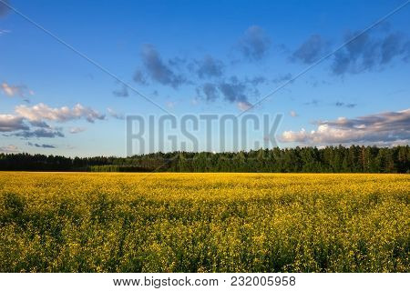 Beautiful Landscape With Field Of Yellow Canola (brassica Napus L.) And Blue Cloudy Sky
