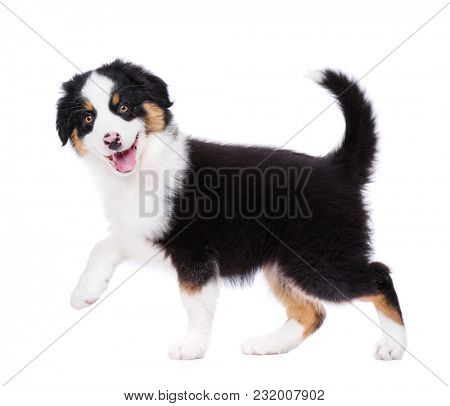 Playful Australian Shepherd purebred puppy, 2 months old looking at camera. Happy black Tri color Aussie dog, isolated on white background.