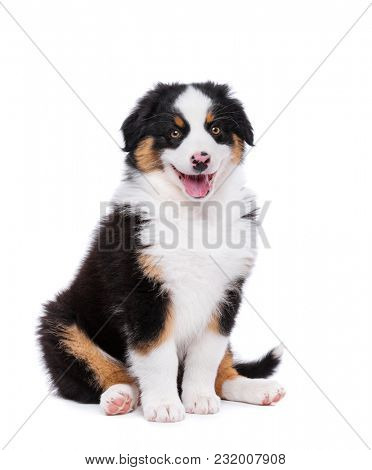 Beautiful happy Australian shepherd puppy dog is sitting frontal and looking at camera, isolated on white background