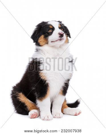 Beautiful happy Australian shepherd puppy dog is sitting frontal and looking upward, isolated on white background