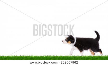 Playful Australian Shepherd purebred puppy, 2 months old looking away. Happy black Tri color Aussie dog on green grass, isolated on white background.