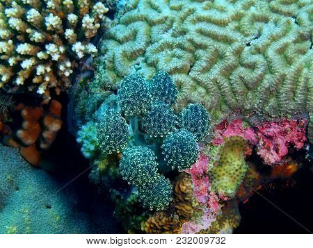 The Amazing And Mysterious Underwater World Of The Philippines, Luzon Island, Anilаo, Sea Squirt