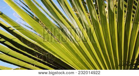 Palm Leaf Background. When The Sun Shines Through. Sunlight. Retro Effect Photo. Aged Photo Of Palm