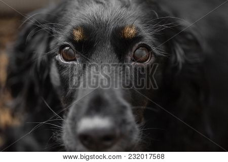 Closeup Portrait Of Beautiful Black Spaniel Dog. Focus On Eyes. The Big Dog Wants To Find Family And