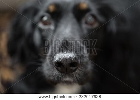 Focus On Black Beautiful Nose. Closeup Portrait Of Beautiful Black Spaniel Dog. The Big Dog Wants To