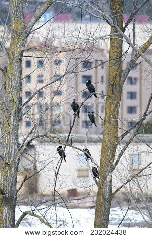 Cormorants Perched In The River Trees Near The City In Search Of Fish