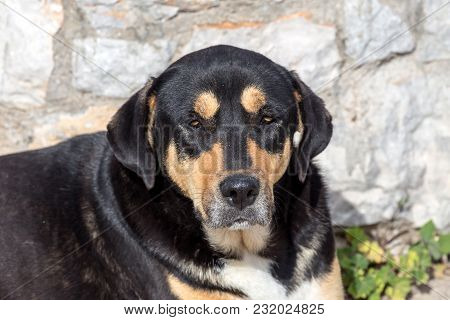 Portrait Of A Stray, Homeless Old Dog Lying Against A Stone Wall Close-up