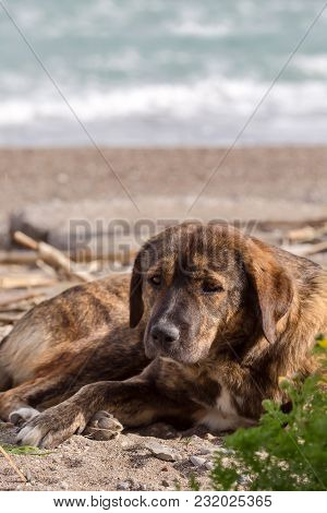 Portrait Of A Stray, Homeless Old Dog Lying On The Beach Close-up
