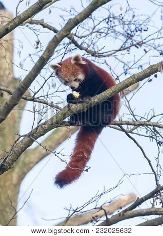 Red Panda Eating A Apple