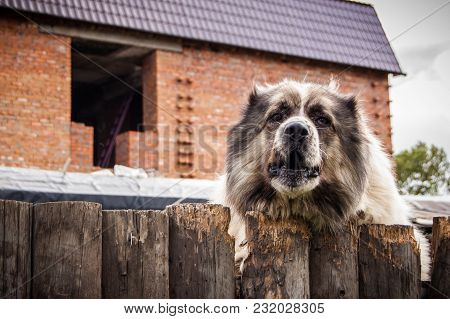 The Guard Dog Behind The Fence On The Background Of The House Under Construction Watches Out. The Co