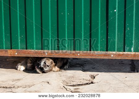 Guard Dog Stucks His Muzzle Between The Ground And The Gate Growl At Passers-by. The Concept Of Prop