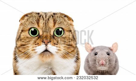 Portrait Of Scottish Fold Cat And Gray Rat, Closeup, Isolated On White Background