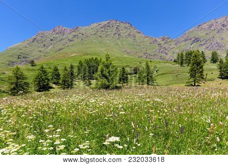 Green fields with flowers as mountains on background under blue sky near Colle delle Finestre in Piedmont, Northern Italy.
