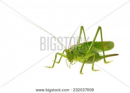 Green locust isolated on white background