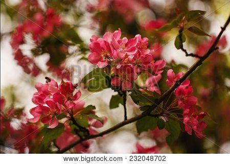 Awakening Of A Cherry Tree. Cherry Blossom. Beautiful Flowers On The Spring Tree. Plants And Flora C